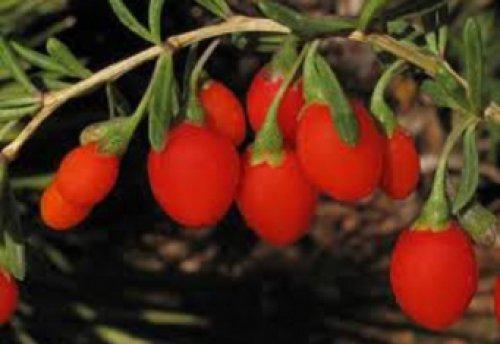 помогают ли ягоды годжи